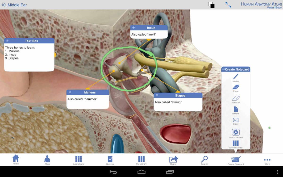 Human Anatomy Atlas Ear